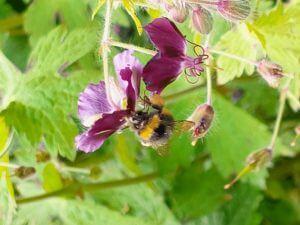 bi i geranium,  åben have Haveselskabet