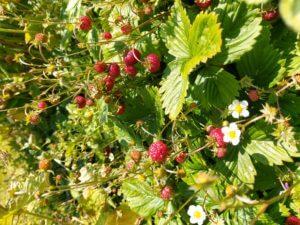 skovjordbær ved åben have havefestival