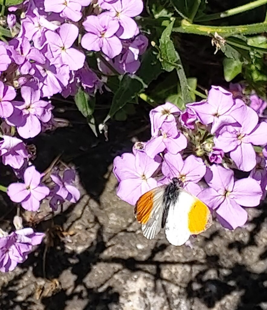 Smuk sommerfugl på lilla blomst