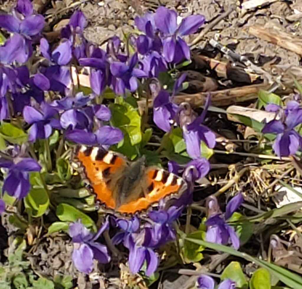 Sommerfugl med brune farver på lilla blomst