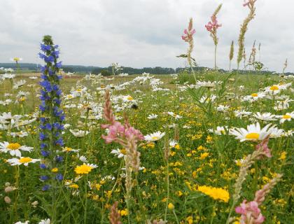 Smuk blomstermark med farvede vilde blomster er gode til din sommerfuglehave