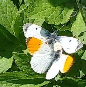 Aurora sommerfugle