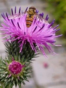 bi i tidselblomst, en god nektarplante