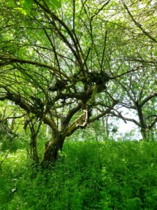 gammeltfrugttræ i den vilde have