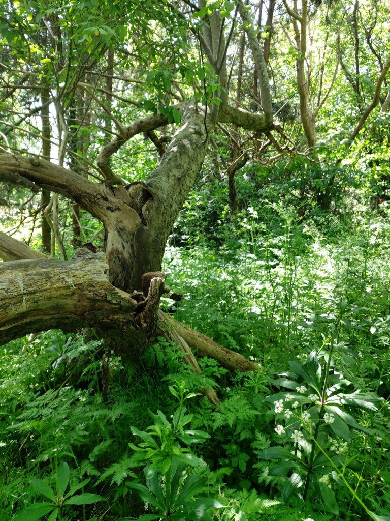 Tæt beplantet grøn skovbund og gammelt træ.